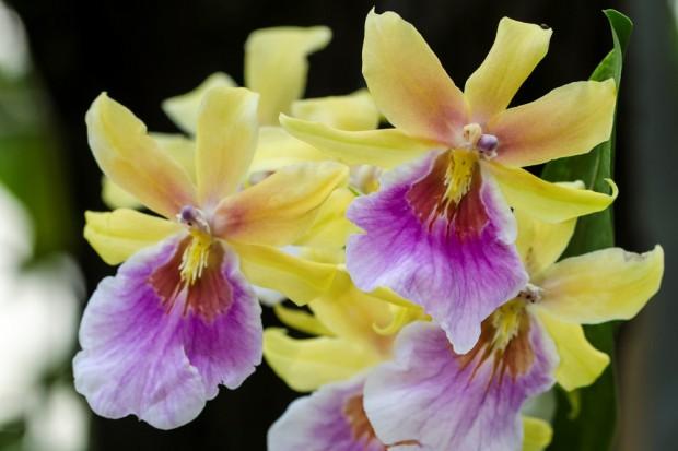 leipziger internet zeitung farbenzauber zur orchideenschau im botanischen garten der. Black Bedroom Furniture Sets. Home Design Ideas