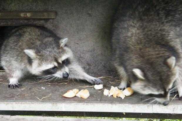 Was fressen Tiere so, wie oft werden sie am Tag gefüttert? Foto: Wildpark e. V.