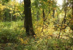 Jagdrevier der Jäger und Sammler: der schöne mitteleuropäische Wald. Foto: Ralf Julke