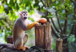 Eierdieb im Zoo Leipzig - Totenkopfäffchen im Gondwanaland. Foto: Zoo Leipzig