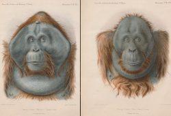 Moritz und Max, die beiden Orang Utans, die nie in Leipzig ankamen. Zeichnungen: Adolphe Philippe Millot, Foto: Universitätsbibliothek Leipzig