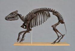 Dreidimensionale Skelettrekonstruktion eines großen Urpferdes (nach Hellmund & Koehn), Foto: M. Scholz, Archiv Geiseltalsammlung/ZNS, Halle (Saale)