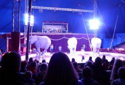 Der Zirkus ist in der Stadt. Die Elefanten bei der Abendvorstellung am 19. März 2016. Foto: Privat