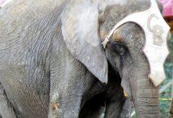 """Zirkus """"Berolina"""" bei der Nachmittagsvorstellung am 20. März: Eine Detailaufnahme auf dem Weg zurück ins Tierzelt zeigt eine Schwellung am rechten Oberarm des Tieres. Foto: Privat"""