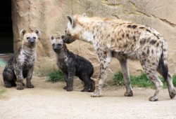 Hyänennachwuchs im Zoo Leipzig. Foto: Zoo Leipzig