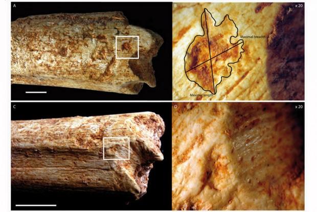 An beiden Enden des Oberschenkelknochens eines 500.000 Jahre alten Homininen aus Marokko befinden sich Beißspuren, die von Fleischfressern stammen. Foto: MPI f. evolutionäre Anthropologie