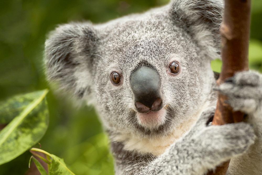 Das Koalamännchen Oobi-Ooobi. Foto: Dierenpark Planckendael Jonas Verhulst