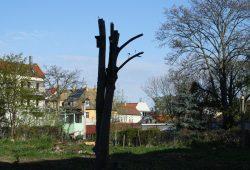 Nur der Baumstamm mit dem Brutkasten blieb stehen. Foto: Ralf Julke