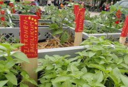 Bunt bepflanzte Hochbeete formen eine 100. Foto: Ökolöwe