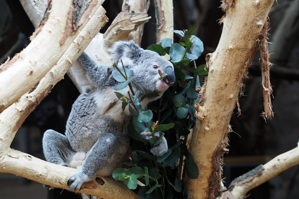 Koala Oobi-Ooobi beim Fressen von Eukalyptus. Foto: Zoo Leipzig