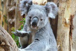 Koala Oobi-Ooobi im Eukalyptuswald von Leipzig. Foto: Zoo Leipzig