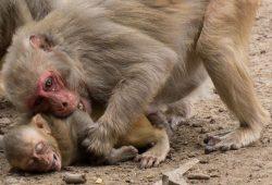 Rhesusaffen-Mütter sind zu ihren Söhnen in deren erstem Lebensjahr aggressiver als zu ihren Töchtern. Foto: MPI f. evolutionäre Anthropologie, Bonn Aure