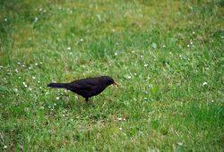 Die Amsel gehört zu den häufigsten Vögeln in Leipzig und Umgebung, ergab die Stunde der Gartenvögel. Foto: Uwe Schroeder