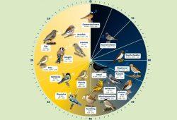 Rechtzeitig zur Stunde der Gartenvögel gibt es nun auch die NABU-Vogeluhr. Foto: NABU Sachsen