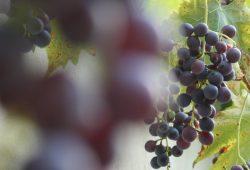 Weintrauben, ungespritzt. Foto: Ralf Julke