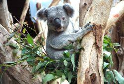 Zum ersten Mal Sommerferien mit Koala Oobi-Ooobi. Foto: Zoo Leipzig