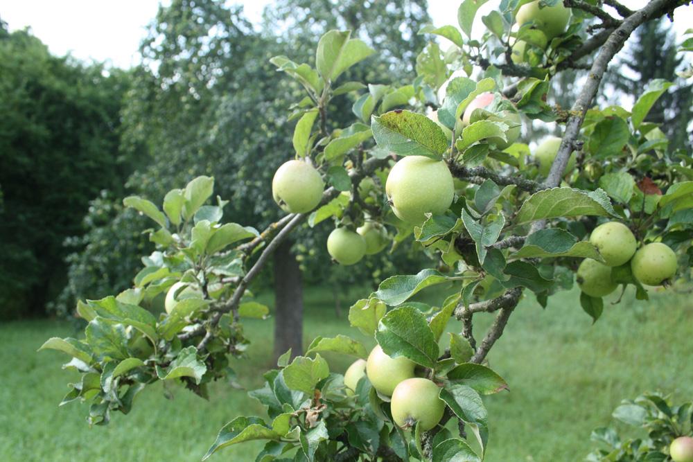 Apfelfreude an der Brückenstraße. Foto: Ralf Julke