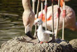 Erstes Küken bei den Chileflamingos in der Lagune. Foto: Zoo Leipzig