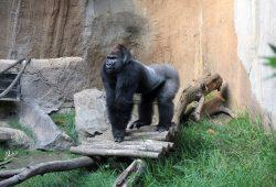 Gorilla Abeeku in Pongoland. Foto: Zoo Leipzig