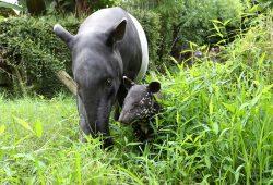 Tapirjungtier Kedua mit Mutter Laila im Alter von einem Monat. Foto: Zoo Leipzig