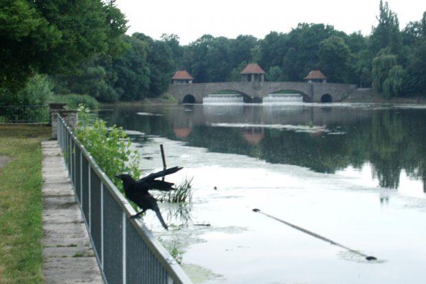 Ein Paradies für Schwemminseln: Krähe am Elsterbecken mit Palmgartenwehr im Hintergrund. Foto: Ralf Julke