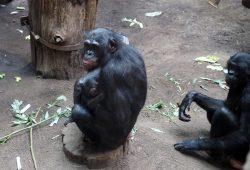 Bonoboweibchen Lexi mit ihrem Nachwuchs auf der Innenanlage. Foto: Zoo Leipzig