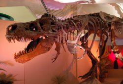 Der Tyranno Saurus Rex ist jetzt nur noch ein Tyranno Saurus Ex. Foto: Freeimages