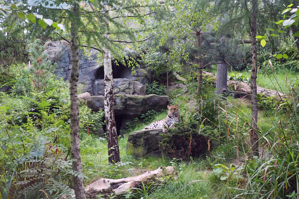 Amurleopardin Mia in dem Leoparden-Tal. Foto: Zoo Leipzig