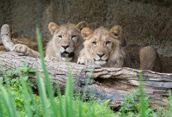 Die beiden Löwen - noch in Basel. Foto: Zoo Basel/Torben Weber