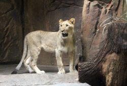 Majo in der Löwenhöhle. Foto: Zoo Leipzig