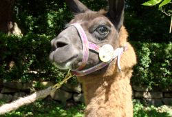 Marketinglama Horst. Foto: Zoo Leipzig