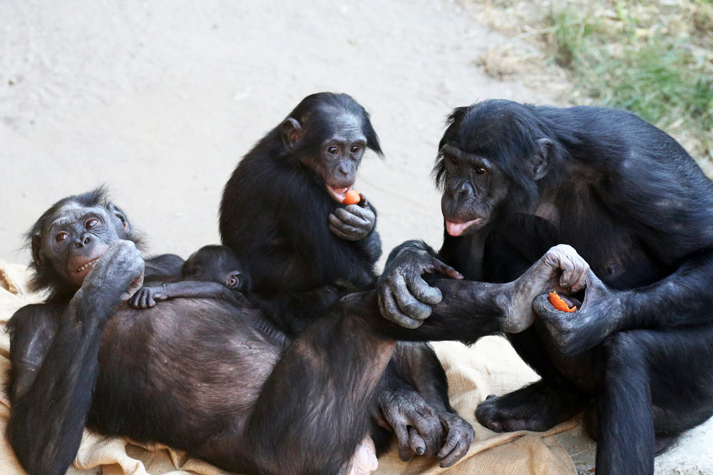 Bonoboweibchen Lexi mit Sohn Tayo und Bonobomännchen. Foto: Zoo Leipzig