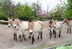 Wildpferdherde. Foto: Zoo Leipzig
