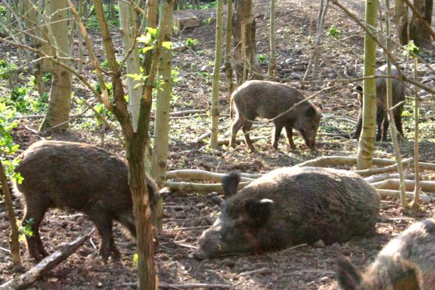 Wildschweine im Wildpark Leipzig. Foto: Ralf Julke
