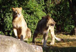 Etoscha-Löwen auf der Freianlage. Foto: Zoo Leipzig