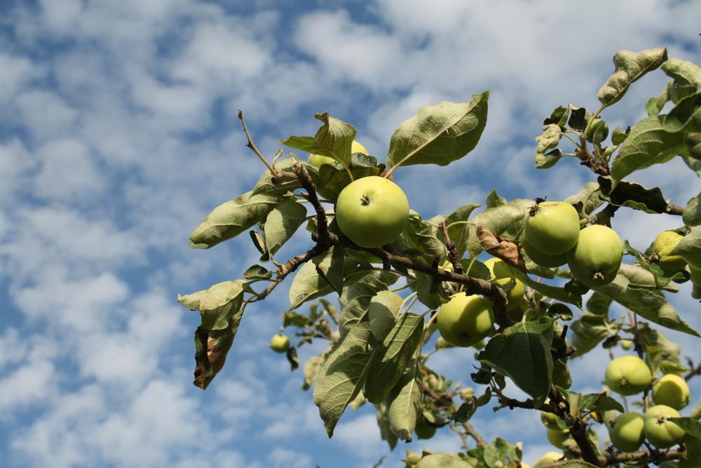 Äpfel - eine keineswegs ungefährliche Obstsorte. Foto: Ralf Julke