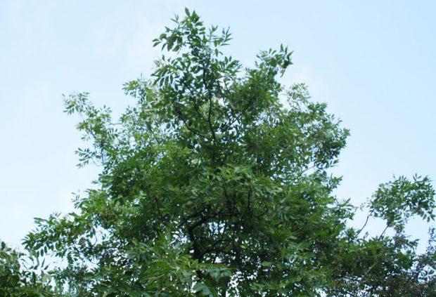 Die Baumkrone einer gesunden Esche. Foto: Ralf Julke