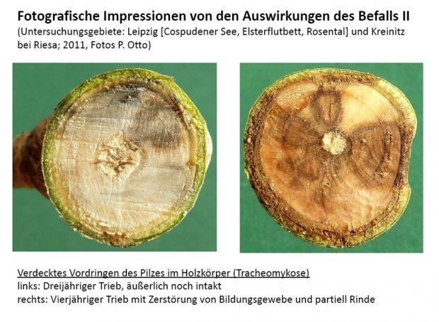 Wie der Pilzbefall die Stämme junger Eschen zerstört. Grafik: Stadt Leipzig