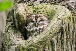Waldkauz ist Vogel des Jahres. Foto: Bärbel Franzke