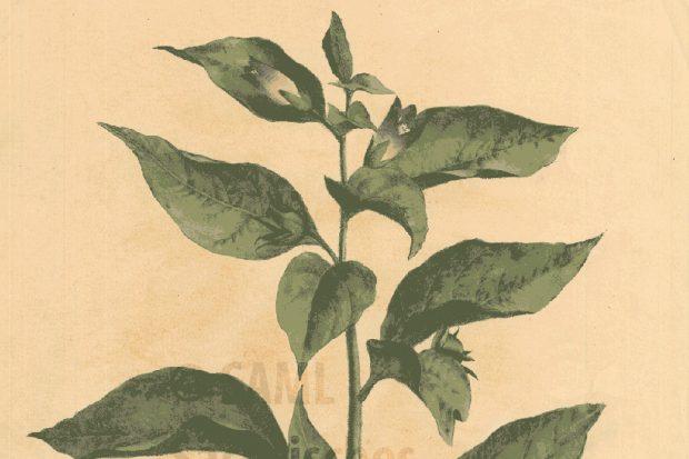"""Abbildung: """"Atropa Belladonna"""", Blatt aus der lithografischen """"Sammlung Officineller Pflanzen"""" um 1825. Foto: Sächsisches Apothekenmuseum Leipzig"""