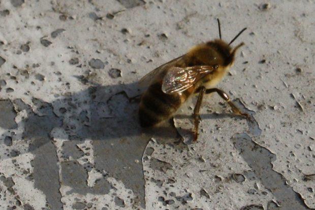 Biene beim Aufwärmen in der Morgensonne. Foto: Ralf Julke