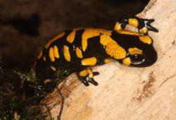 Feuersalamander – sein Hautsekret ist nur für Fressfeinde gefährlich giftig. Foto: DGHT/Kwet