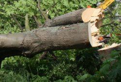 Ein Baum ist gefällt. Foto: Ralf Julke
