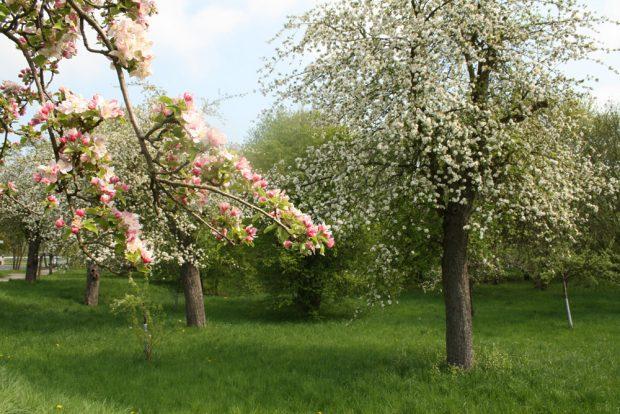 Pure Verschwendung: blühende Obstbäume. Foto: Ralf Julke