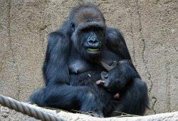 Gorillaweibchen Kibara mit ihrem Jungtier. Foto: Zoo Leipzig
