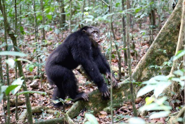 Schimpansen halten in Konflikten gegen Rivalen zusammen. Foto: Max-Planck-Institut für Evolutionäre Anthropologie, Liran Samuni