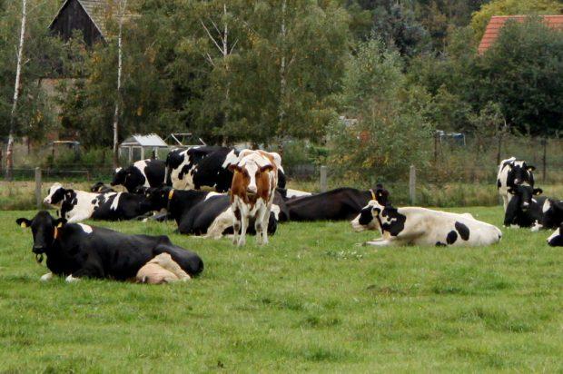 Kühe im Grünen. Foto: Matthias Weidemann