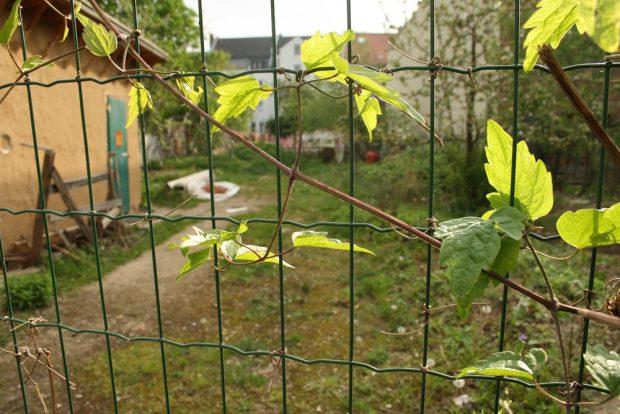 Nachbarschaftsgartenprojekt in Lindenau. Foto: Ralf Julke
