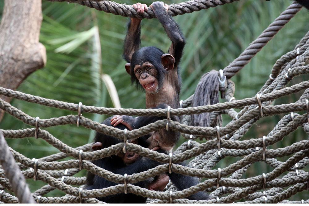 Schimpansenjungtier Ohini mit Azibo. Foto: Zoo Leipzig