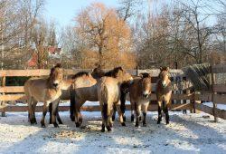 Wildpferde im neuen Vorgehege. Foto: Zoo Leipzig